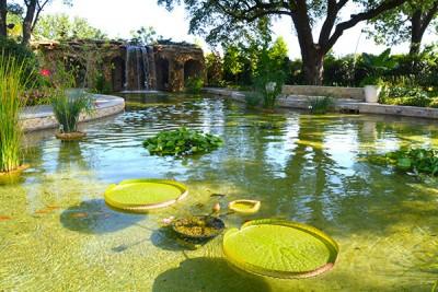Victoria Water Lily Dallas Arboretum